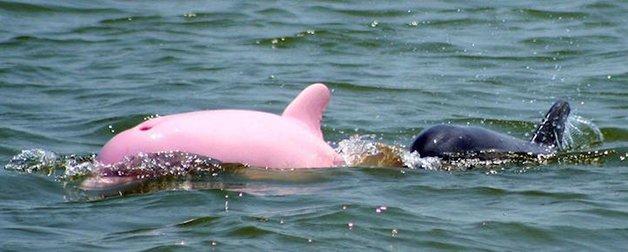 PinkDolphin3
