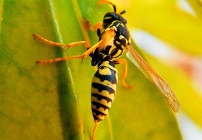 Estudo revela que veneno de vespa brasileira pode eliminar células cancerígenas
