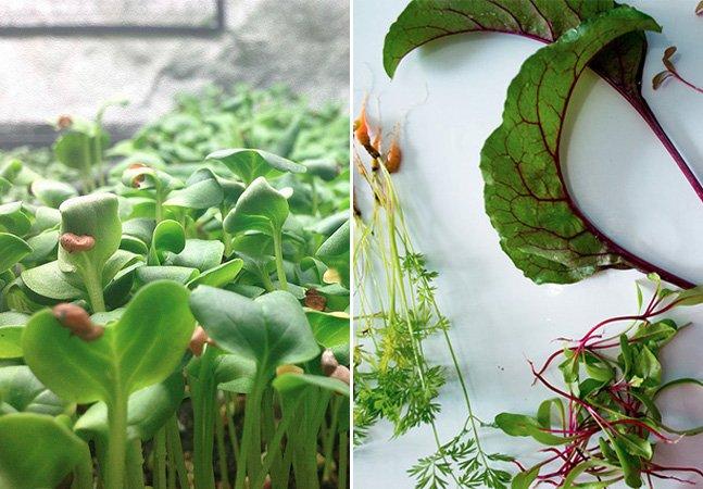 Microgreens: conheça os vegetais que têm até 40 vezes mais nutrientes que aqueles consumidos normalmente