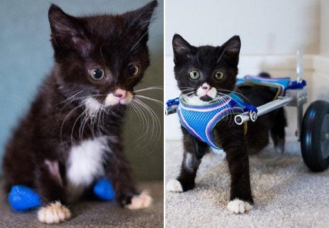 O adorável gato de duas patas que escapou da fome e ganhou uma cadeira de rodas própria