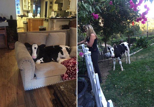 Filhote de vaca resgatada se comporta como um cachorro e conquista a internet