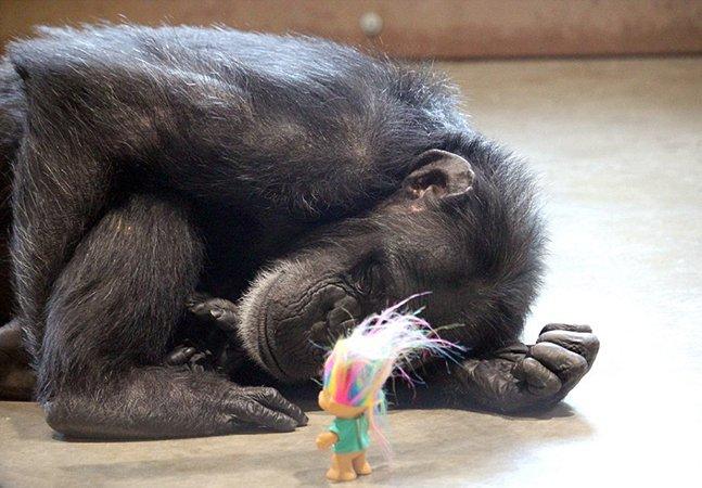 Série tocante mostra como uma mãe chimpazé compensou a perda de seus filhotes