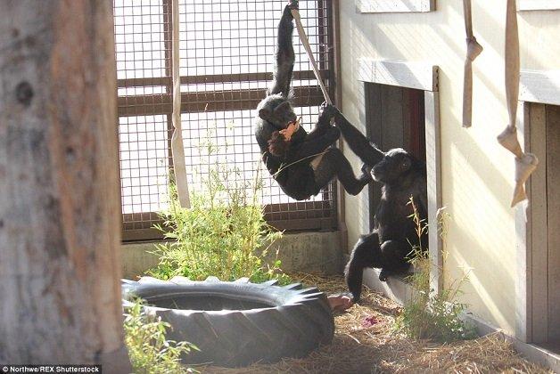 chimp6