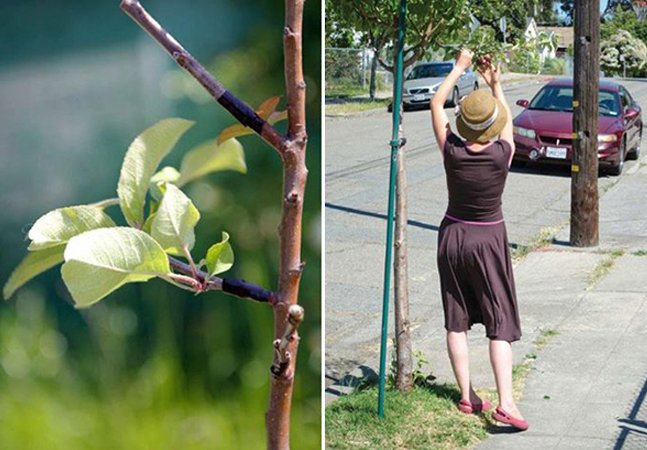 Grupo de pessoas se une para espalhar secretamente árvores de fruto pelas cidades