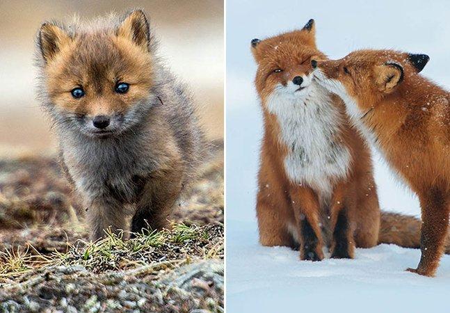 Fotógrafo capta a rotina de raposas na natureza em região remota da Rússia