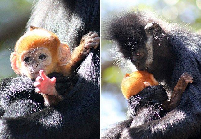 Série de fotos mostra o adorável (e raro!) macaco laranja nascido na Austrália