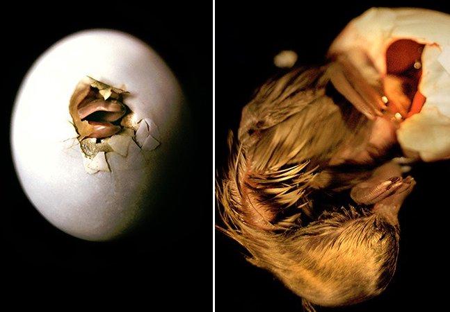 Série de fotos retrata o delicado momento em que patos saem da casca de um ovo e vêm ao mundo