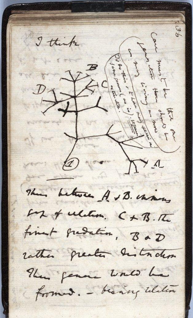 """Caderno de anotações de Darwin, com o primeiro diagrama de uma árvore evolutiva. No alto, à esquerda: """"eu acho""""."""