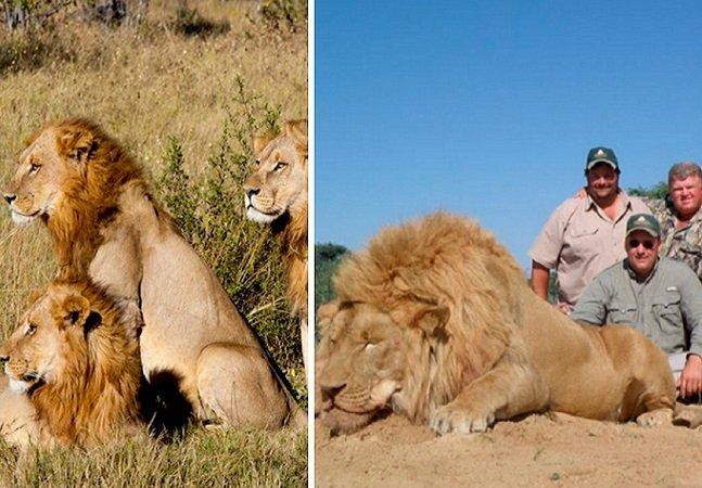 Como uma mudança na lei norte-americana pode pôr fim à 'caça enlatada' de leões na África do Sul