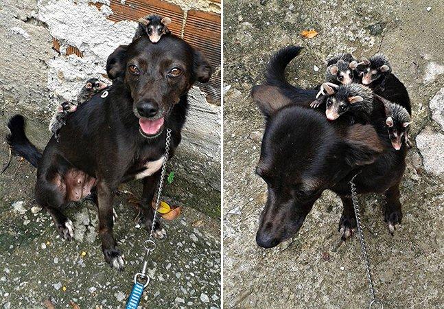 Conheça Pretinha, a incrível cadela que 'adotou' 7 filhotes de gambá orfãos no RJ