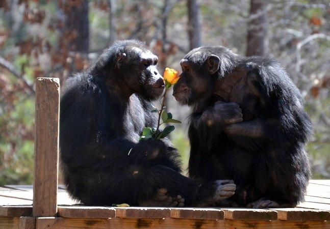 Conheça o 'paraíso dos chimpanzés',  que acolhe animais descartados  pela indústria farmacêutica