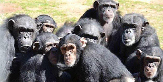 chimp10
