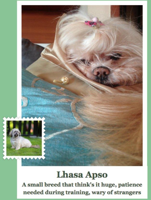 dog-lhasa