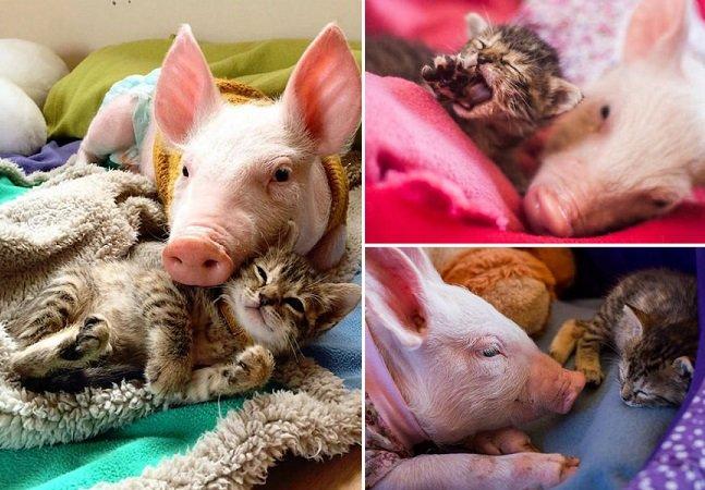 A inesperada amizade entre um porquinho resgatado e um filhote de gato está fazendo sucesso