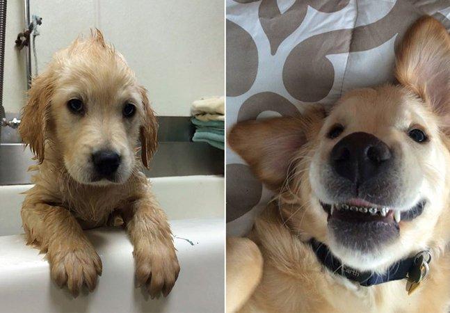 Veja como um aparelho  dentário ajudou esse filhote  de Golden Retriever