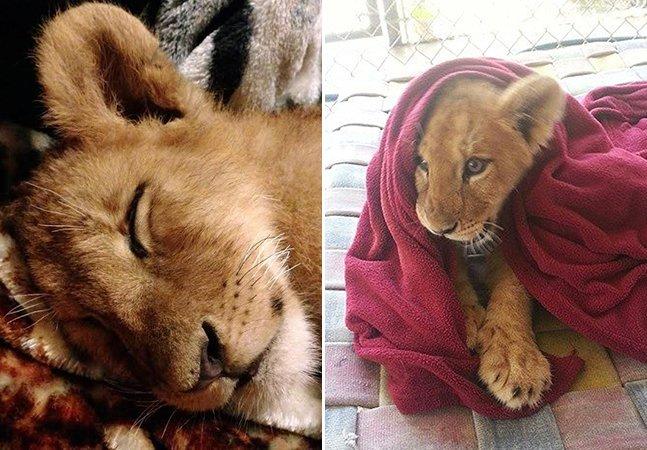 Filhote de leão resgatado há 2 anos se recusa a dormir sem o seu cobertor de sempre