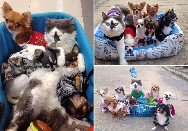 Gato adota ninhada de chihuahuas e cuida deles como se fossem seus próprios filhos