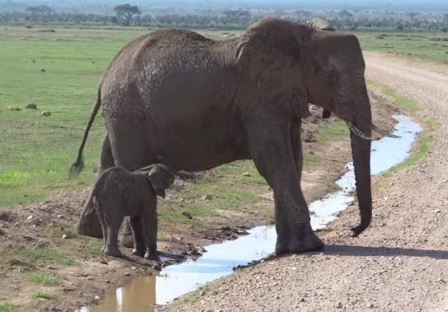Veja como a família deste elefantinho  medroso ajudou a convencê-lo a atravessar uma poça d'água