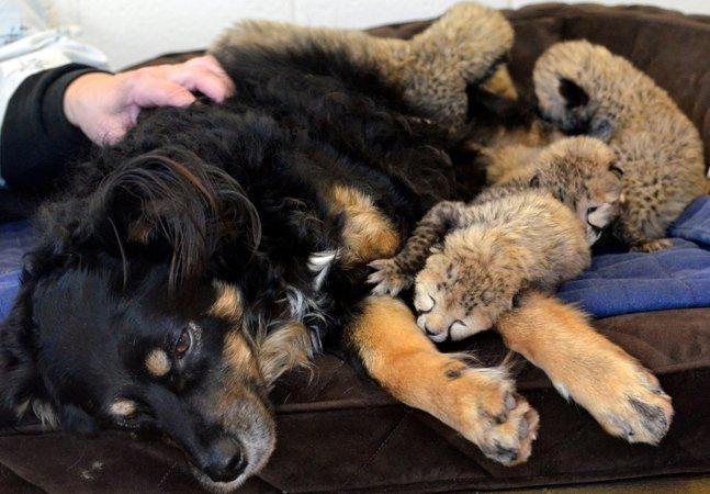 O maravilhoso cachorro que virou pai adotivo de uma ninhada de guepardos