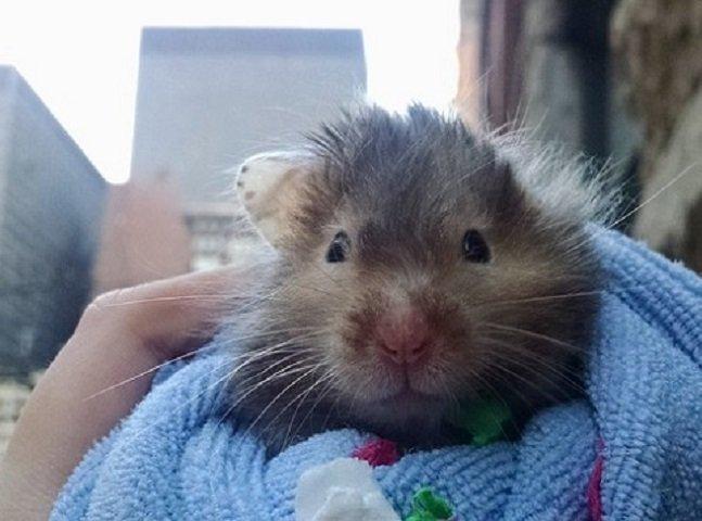 Hamster doente passa seu últimos dias vivendo aventuras incríveis