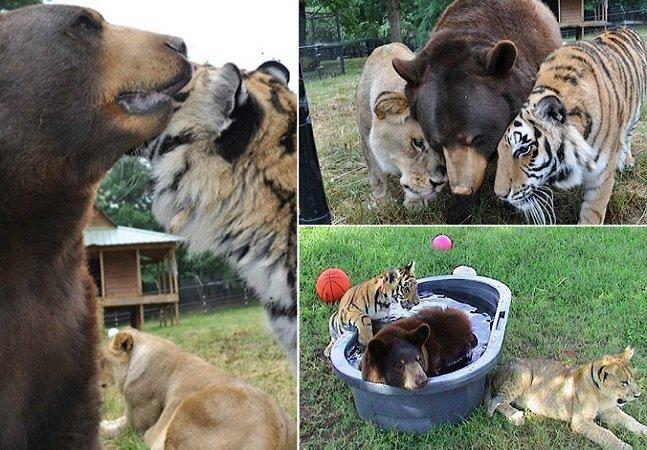 Leão, tigre e urso vivem 15 anos  lado a lado, dando exemplo  de aceitação das diferenças