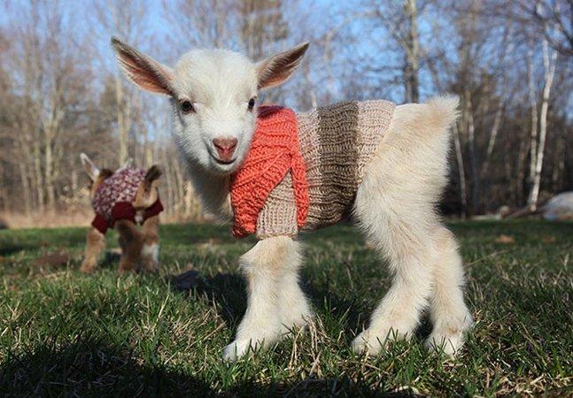 Esses filhotes de cabra ganharam  casaquinhos para protegê-los  do frio e para te matar de fofura