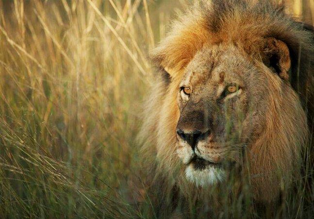 Registros da vida do leão Cecil,  'mártir' da luta pela preservação  da espécie, viram livro infantil