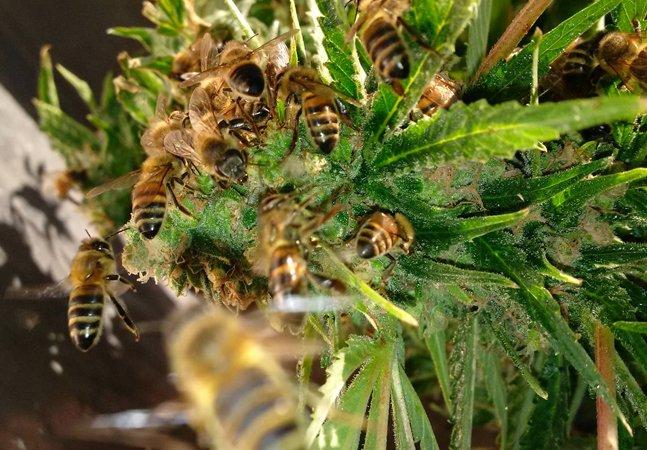 Este apicultor conseguiu fazer com que suas abelhas produzam mel a partir da planta da maconha
