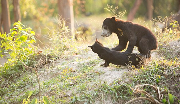 bear-cat-friends-unusual-animal-friendships-ka-wao-george-2