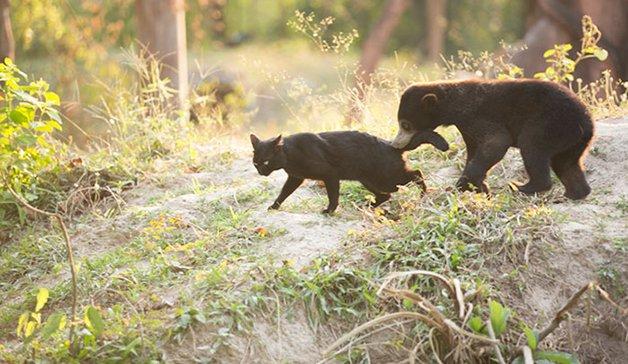 bear-cat-friends-unusual-animal-friendships-ka-wao-george-3
