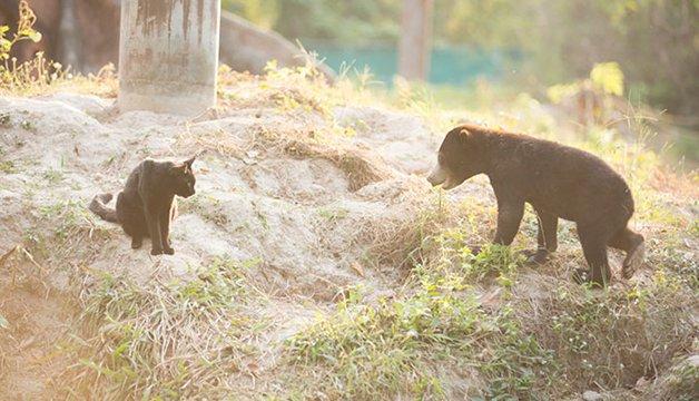 bear-cat-friends-unusual-animal-friendships-ka-wao-george-4