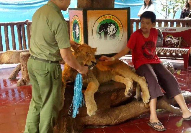 Vídeo polêmico com leão provavelmente sedado e obrigado a posar pra fotos lembra que turismo é coisa séria