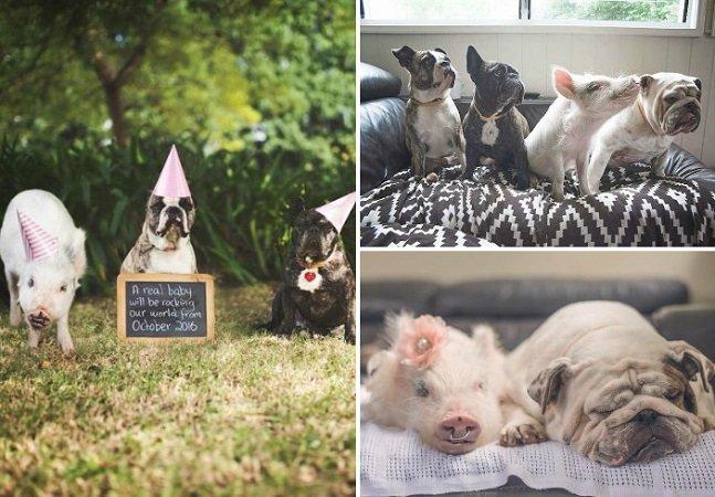 Essa porquinha está sendo criada com cachorros e acha que também é um