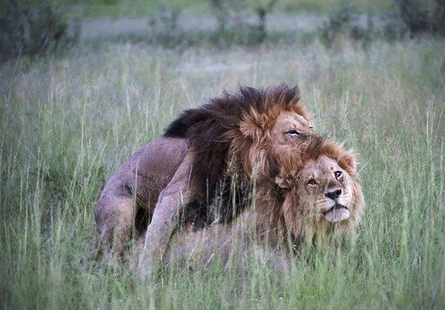 Leões de Botswana rejeitam fêmeas  e acasalam entre si, provando que   isso também é natural no mundo animal