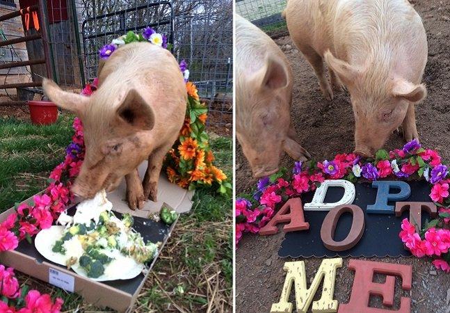 Porquinhos resgatados ganham coroas  de flores na cabeça para aumentar chances de adoção