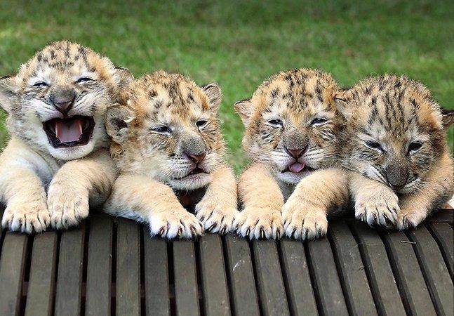 Conheça os ligers: os raros e adoráveis filhotes de um leão branco e uma tigresa branca