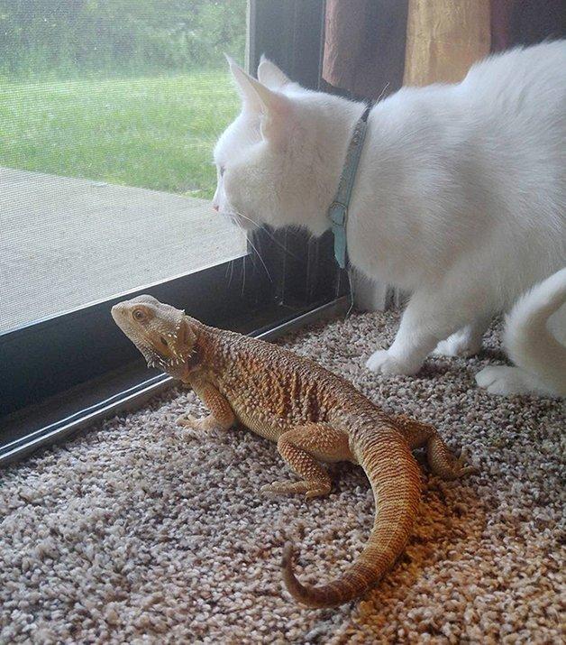 bearded-dragon-cat-friendship-sleep-together-charles-baby-1