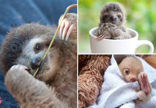 Esta ONG que cuida de filhotes de preguiça é a coisa mais adorável que você vai ver hoje