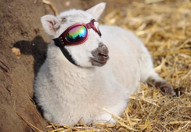 O pequeno cordeiro que já pode voltar a curtir a vida graças a esses óculos de sol inovadores (e estilosos!)
