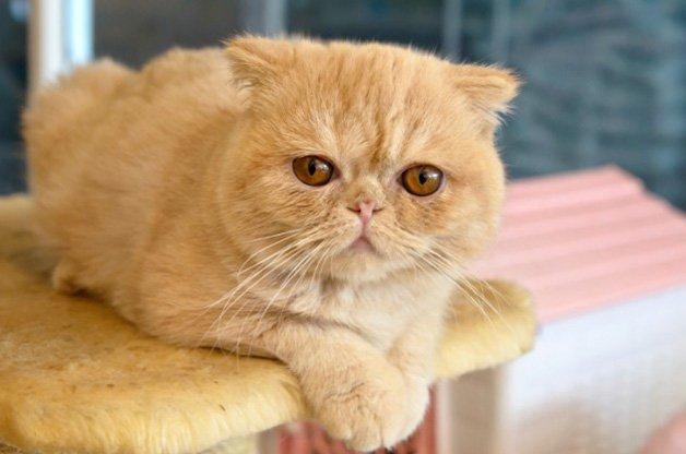 gato-persa-pelo-curto-exotico-1
