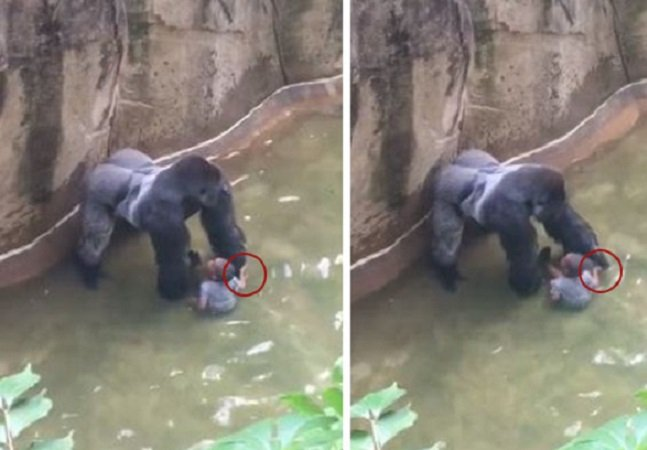 Novo vídeo mostra que gorila morto a tiro no zoo estava afinal dando as mãos a criança