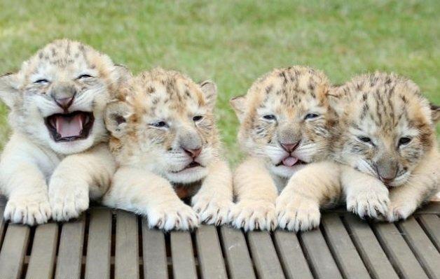 liger1