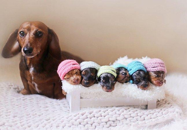 Cadela posa orgulhosamente com seus 6 filhotes 'salsicha' para álbum de maternidade adorável