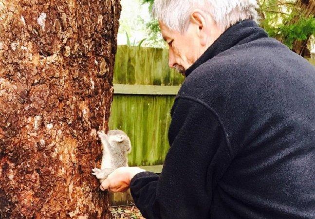 Este bebê coala resgatado  após uma tempestade vai atualizar seus conceitos de fofura