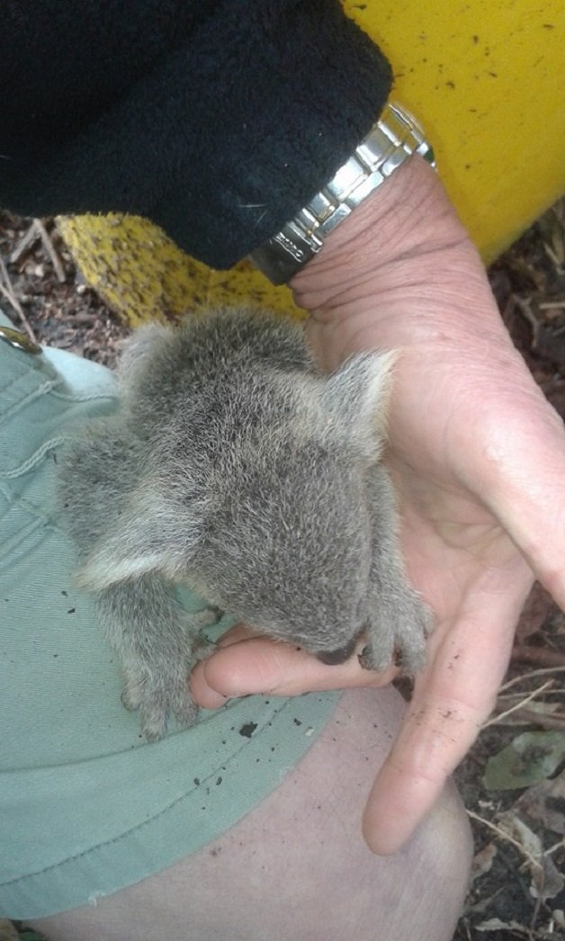 coala6