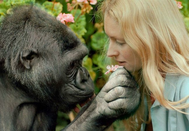 Conheça a gorila que usa a língua de sinais para se comunicar com humanos