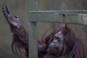 A orangotango Sandra que foi salva por ativistas. Foto: Natacha Pisarenko / AP