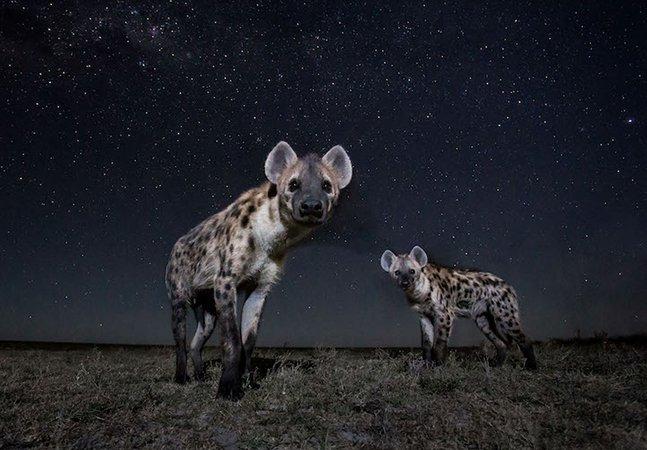 Armadilha fotográfica permite captar imagens dignas de Rei Leão na savana africana