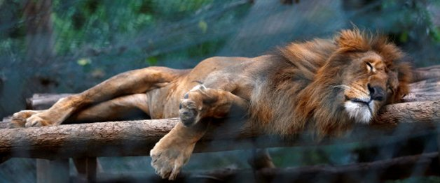 A lion sleeps inside his a cage at the Caricuao Zoo in Caracas