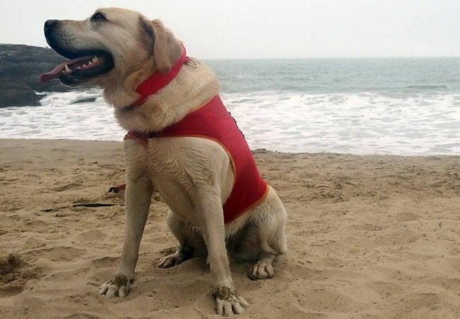 Primeiro cão salva-vidas do Brasil está sendo treinado em Santa Catarina